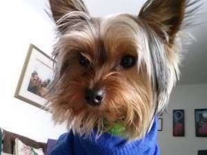 cute Yorkshire Terrier 10 months old