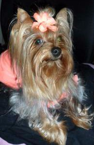 4 year old Yorkie with hair bow