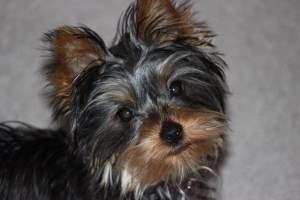 2 year old Yorkie head photo