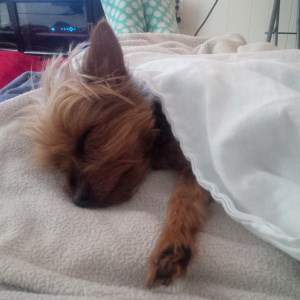 Yorkshire Terrier napping