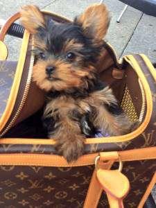 9 week old Yorkie puppy