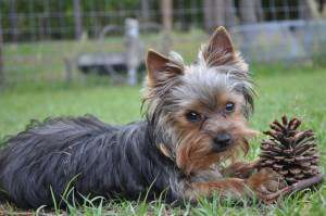 Yorkshire Terrier with pinecone