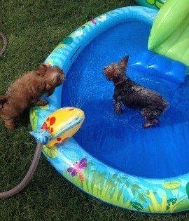 Yorkie in kiddie pool