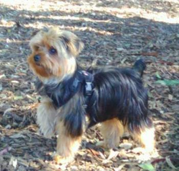 Yorkshire Terrier strap harness
