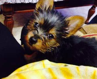 little black and tan Yorkie puppy