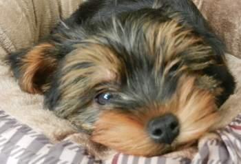 10 week old tiny Yorkie puppy