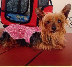 10 year old Yorkie
