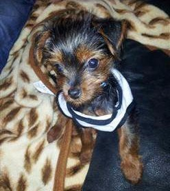 red and black Yorkshire Terrier