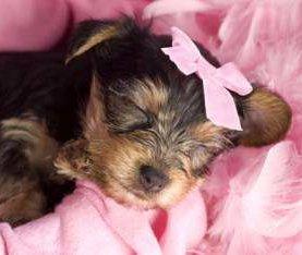 5 week old newborn Yorkshire Terrier puppy