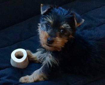 Yorkie puppy 2 months old