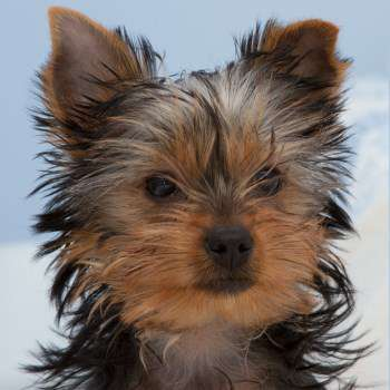 6 month old Yorkshire Terrier puppy