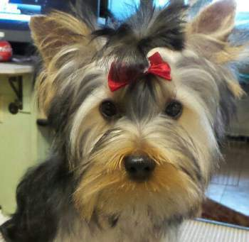 tan yorkie details of yorkie coloring yorkshire terrier information 4614