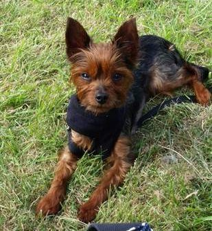 red legged Yorkie, 3 years old