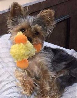 Yorkie with toy in mouth
