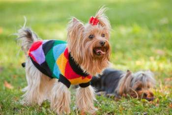 cardio exercise Yorkshire Terrier