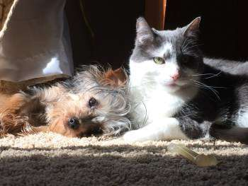Yorkshire Terriers And Cats