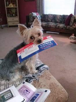 chewing Yorkie with paper in mouth
