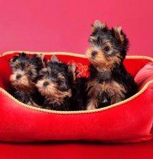 Choosing Yorkie puppy