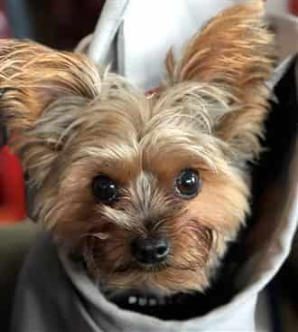 Close up of Yorkshire Terrier