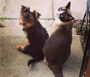 Yorkie and cat same size