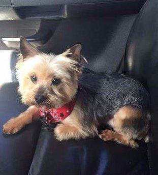 rescued Yorkie in car