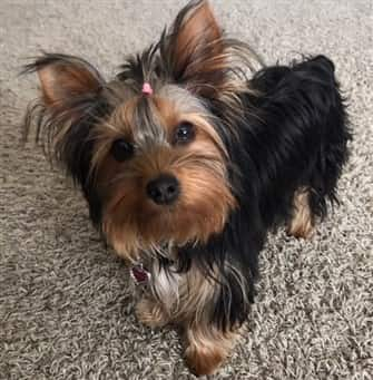 Female Yorkie with a nicely brushed coat