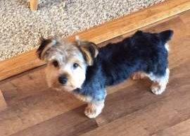 Yorkshire Terrier floppy ears
