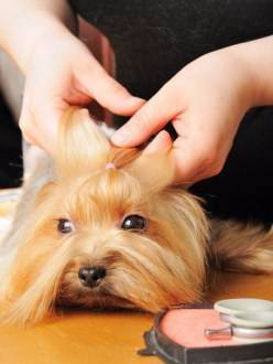 making a topknot on a yorkie