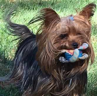 male Yorkshire Terrier with a toy in his mouth