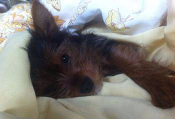 Yorkie in his bed getting ready to sleep