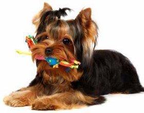 teething Yorkie puppy