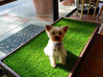 Yorkie on indoor grass