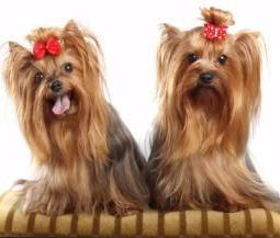 two Yorkies with long hair
