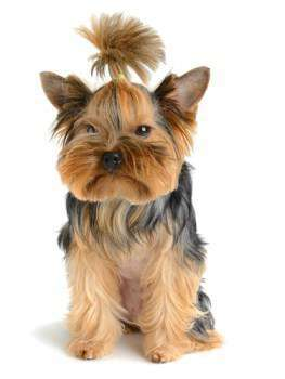 Yorkshire Terrier looks unhappy