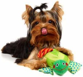 Yorkie with toy