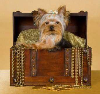 Yorkie in treasure chest