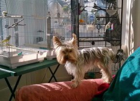Yorkie at home with birds in cage