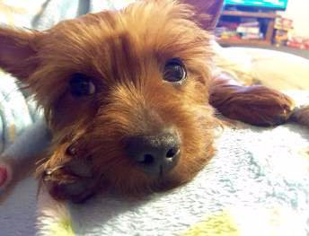 Yorkie with dark eyes