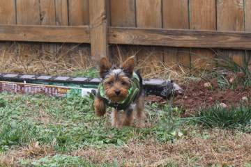 Yorkie digging in the yard