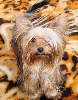 Best Inexpensive Dog Food For Yorkies