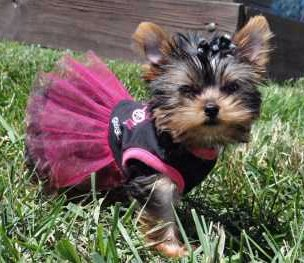 Yorkie girl 3 years old