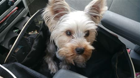 yorkie-in-car-seat