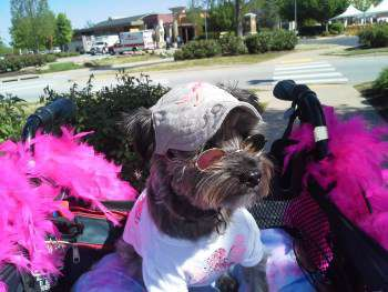 Yorkshire Terrier in convertible