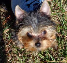 Yorkshire Terrier 18 month old dog