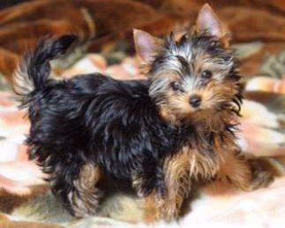 Yorkie with natural long tail