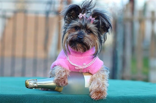 yorkie-on-new-years-day
