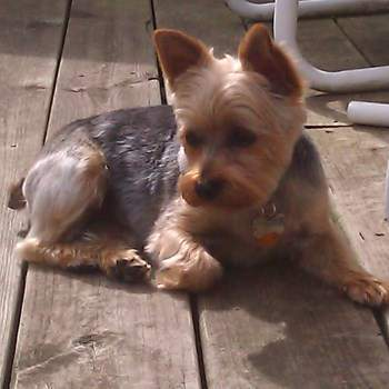 Yorkie on porch