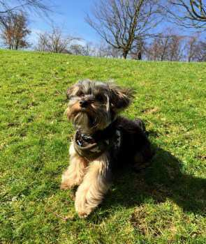 Yorkie dog outside on a sunny day