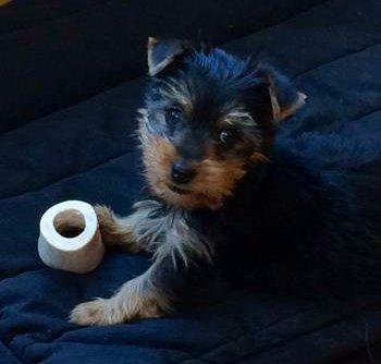 Yorkie Puppy Care | Yo...