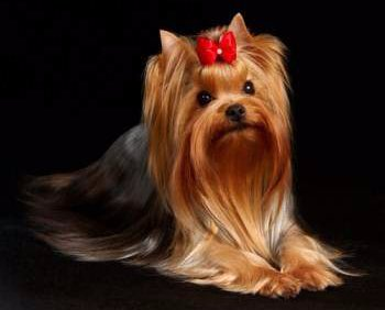 Yorkshire Terrier Dog Shows Yorkshire Terrier